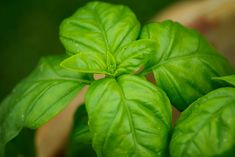 Refreshing Basil and Mint Smoothie Combinations For Summer: Sweet Basil Planter Menthe, Pesto, Cat Friendly Plants, Basil Health Benefits, Easy Herbs To Grow, Cat Safe Plants, Mint Smoothie, Comment Planter, Basil Chicken