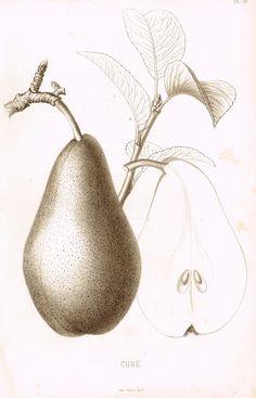 """Pomologie de la France - """"CURE, Pl. 48,  (PEAR)"""" - Lithograph of Fruit - 1863"""