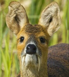 Siberian Mush Deer...they look like a cross between a kangaroo and a vampire, how could you NOT love them??