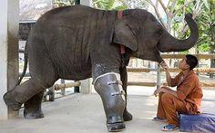 Mosha the elephant walks on her new prosthetic leg, at the FAE Elephant Hospital in Thailand  Photo: BARCROFT