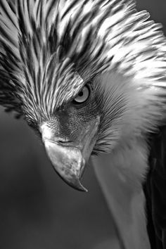 Philippine eagle • photo: William, Jr. Noel on Flickr god this picture gave me chills