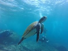 #ECOHOTELS   #SWD  #GREEN2STAY MAUI COAST HOTEL When the pace of life gets too hectic, the honu show us how to slow down and go with the flow... #turtletuesday #mauilife — feeling relaxed. -  http://green2stayecotourism.webs.com/usa-eco-hotels