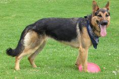 Top 10 Most Expensive Dog Breeds in the World – #4 German Shepherd #GermanShepherd http://www.pindoggy.com/pin/7659/