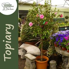 Buy Camellia japonica Pink/Red Lollipop (Half Standard) (Topiary) in the UK Buxus Sempervirens, Taxus Baccata, Red Lollipop, Camellia, Topiary, About Uk, Evergreen, Shrubs, Perennials