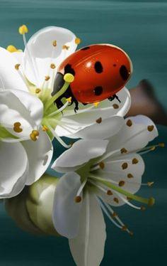 ladybug on white flower❤️