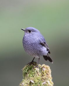 Plumbeous Water Redstart, Female
