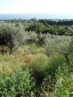 Olive groves at Lake Bolsena by Passion Leica, via Flickr