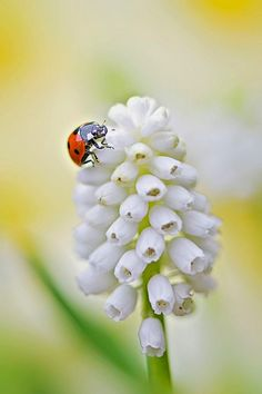 Muscari lady and Ladybug