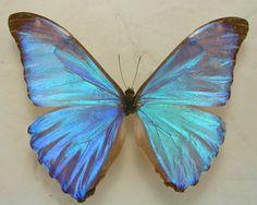 Dazzling Blue Morpho Aurora Real Framed Butterfly by ArtOnWings