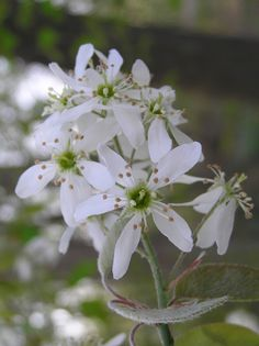 """serviceberry flowers - Amelanchier x grandiflora """"Autumn Brillance'"""