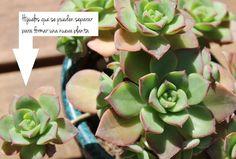 Guia de jardin: Reproducir plantas suculentas