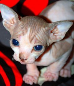 I want a pretty little Hairless Cat with blue eyes. C:  I'll never worry about hair on my clothes again. <3