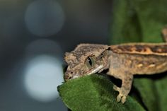 https://flic.kr/p/W8UtL6 | Baby Crested Gecko | www.facebook.com/Chelsea-Lowman-Photography-331822924004/...