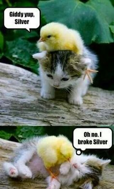 :-) Adorable friendship of a kitten  chicken..nobody is chasing or eating anyone here ;) :P
