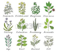 Set of spices herbs and officinale plants icons Healing plants Medicinal plants herbs spices hand dr Stock Vector