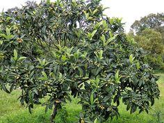 Eryobotria japonica, Loquat Tree | Canada Plants • Eriobotrya japonica (Loquat or Japanese Plum)