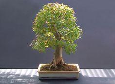 trident maple bonsai | ... Harrington › Portfolio › Trident Maple/Acer buergerianum Bonsai