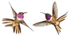 A New Species of Hummingbird and Three Ways to Solve Your Bird Mysteries https://ci4.googleusercontent.com/proxy/uxJYR5MA1hNlNOXrXi66Mjrzsp8-fuzZfzJY6njfTlPxslvJGrRD9LinxoEDcuTyjr06izxlOXkzOQcjt0fQDTskOa3cmG_R_m-QtLBpAVGc5Fg9CnBL2z6wjQ4RzMSuo6B7ft0hcw_nGz0LReOVo1njS0gbNkQrJCzTbAw=s0-d-e1-ft#https://gallery.mailchimp.com/b35ddb671faf4a16c0ce32406/images/72cba0e4-7111-41cd-8a19-601b665f1d9f.jpg
