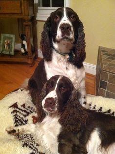 Zuzu and Pardini,  English Springer Spaniels