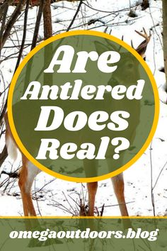 There are many anomalies in the whitetail world. One of them is the fact that sometimes female whitetails can grow antlers. You may have seen reports of deer shot with huge antlers and claim that the deer was a doe. The question is if it is a true antlered doe or if there is another possibility.