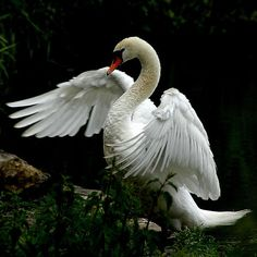 So graceful! Swan with one extended wing...