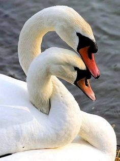Swans mate for 'life'
