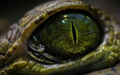 HD wallpaper: green reptile eye, close-up photo of crocodile's eye, eyes, macro Close Up Photography, Animal Photography, Artistic Photography, Crocodile Eyes, Lizard Eye, Reptile Eye, Zoo Lights, Terrarium Reptile, Eyes Wallpaper