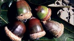 Acorns - Managing Oaks for Acorn Production to Benefit Wildlife in Missouri