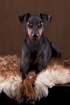 The Manchester Terrier by Daria Kusch on 500px