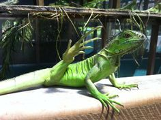 """""""And....stretch!"""" It's a yoga Friday at the Green Iguana Conservation Project"""