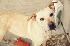 HALEY is an adoptable Labrador Retriever Dog in Phoenix, AZ.  Folks, my name is Haley and I would love to find myself in your great loving home!!! I was rescued from the County Shelter and was schedul...