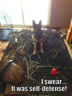 Bad Plant! BAD! ;) I have come home to this scene before--Photo Tracy Rich! The German Shepherd Dog Community #RePin by AT Social Media Marketing - Pinterest Marketing Specialists ATSocialMedia.co.uk