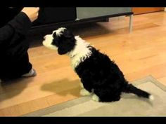 Another cute video of Penny, our Portuguese Water dog she's 8 weeks old in this movie.  Thanks to my Dad for making this :)