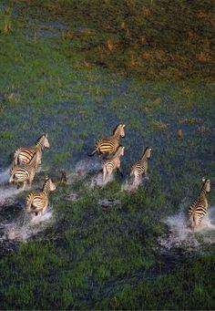 Zebras - Okavango Delta, Bostwana, Africa