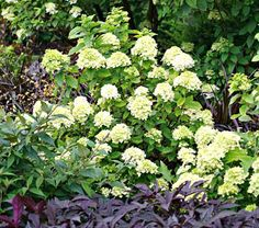 The same refreshing color as 'Limelight' on a hardy shrub about one-third the size.