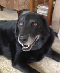 Leo is an adoptable Labrador Retriever Dog in Cedar Rapids, IA. Leo is a 9 year old black Lab who is a very lovable dog with a shiny jet black coat who loves to be hugged and petted and sometimes just...