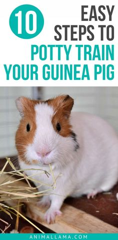 Are you tired of all that poop? Learn how to potty train your guinea pig which means less money spent on bedding, and most importantly, less cleaning in general! A guide on litter training a guinea pig. #guineapig #pottytraining #pets