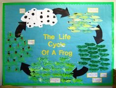 Life Cycle of a Frog classroom display photo from Shelley. (Idea- have the students work in groups on each stage for facts... then create the class display)