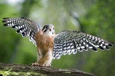 the smallest falcon by jaki good miller, via Flickr