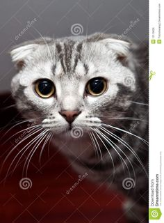 Royalty Free Stock Image: Scottish fold cat - #scottish - More Scottish Fold Cat Breeds at Catsincare.com!