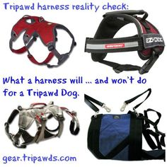 What Tripawd dog harnesses  can and can't do to help a dog with an amputated limb walk