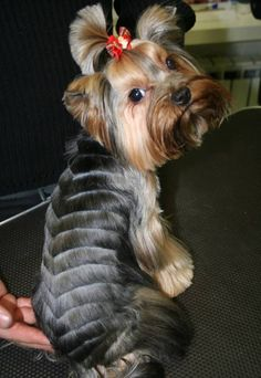 Some of the things we all enjoy about the Affectionate Yorkshire Terrier Pups Yorkshire Terrier Haircut, Yorkshire Terrier Puppies, Yorkshire Bebe, Yorkies, Collie, Yorkie Cuts, Yorkie Hairstyles, Creative Grooming, Dog Haircuts