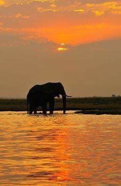 Elephant basking in the Sunset Chobe National Park Botswana Africa Beautiful Creatures, Animals Beautiful, Cute Animals, Chobe National Park, National Parks, Out Of Africa, Elephant Love, Beautiful Sunset, Silhouettes