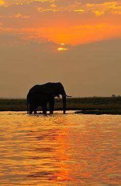 Elephant basking in the Sunset Chobe National Park Botswana Africa Beautiful Creatures, Animals Beautiful, Cute Animals, African Elephant, African Animals, Chobe National Park, Elephant Love, Beautiful Sunset, Beautiful Images