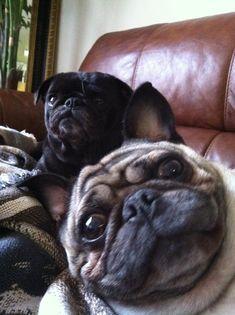 I love this pug photobomb!