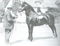 North Forks Black Earl Welsh Cob; GWALIA VICTOR, b. H, 1924 by HIGH STEPPING GAMBLER II ex HENDRAWS DOLL