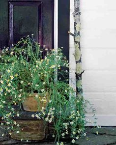 Growing Chamomile - An annual, German chamomile is easily started from seed or a nursery transplant. If starting from seeds, follow packet directions.