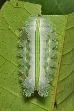 """Stinging Nettle Slug Caterpillar (Cup Moth, Limacodidae) """"Toothbrush"""" by itchydogimages Cool Insects, Bugs And Insects, Beautiful Bugs, Beautiful Butterflies, Beautiful Creatures, Animals Beautiful, Caterpillar Insect, Cool Bugs, Reptiles"""