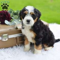 Mini Bernedoodle Puppy in Millersburg, OH