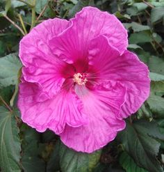 Hibiscus 'Fantasia' - 3-4', Full sun, Summer blooming. This is probably the most fabulously exotic-looking native plant, and I was thrilled with how it grew in my yard last year without proper watering. Hope to get a few more of these, along with Hibiscus 'Blue River II.' Show-stopping!